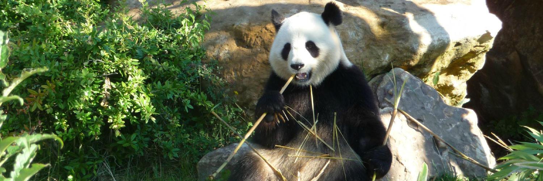 Découvrez les pandas géants au Zoo de Beauval